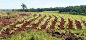Advierten que la producción de tabaco no alcanzaría a cubrir las estimaciones de las empresas
