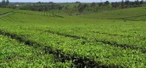 Industriales tealeros se comprometieron a no parar la cosecha