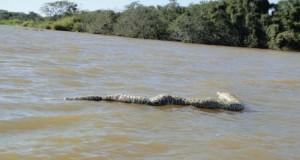 En Brasil aseguran que hay una anaconda gigante a kilómetros de la frontera con Misiones