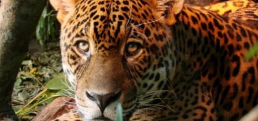 Vida Silvestre: para el 84% de los misioneros la extinción del yaguareté sería un hecho grave o muy grave