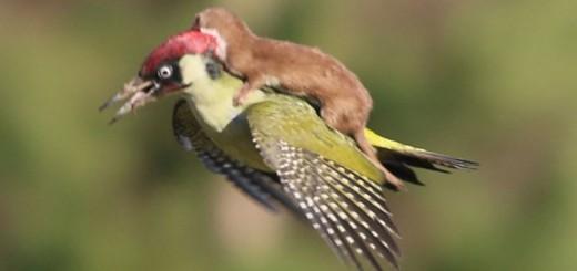 Esta foto de un pájaro carpintero y una comadreja revoluciona las redes: ¿real o trucada?