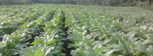 Crece la preocupación de los tabacaleros por el ingreso de tabaco brasileño a la provincia