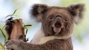 Polémica en Australia: el gobierno mató a 700 koalas