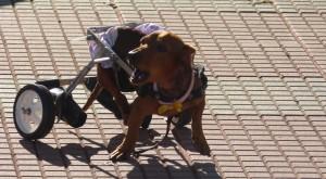 Tarde de perros: fue un éxito el encuentro de perros salchicha en Posadas