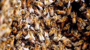 Criaba abejas africanas en su casa de Posadas, pero los insectos se escaparon y mataron a dos perros