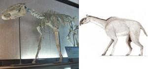 Develan la historia evolutiva de los caballos y sus parientes