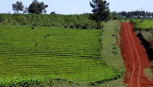 Implementan fondo rotatorio para la cosecha del té en Misiones