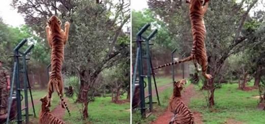 """Video: el """"salto del tigre"""" capturado en slowmotion ya fue visto al menos 8.5 millones de veces en tres meses"""