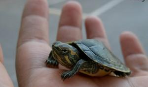 Se robó una tortuga y fue detenido