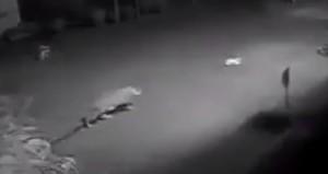 El video viral del ataque de un yaguareté a un perro, no se registró en Cataratas del Iguazú