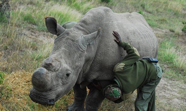 Custodia armada de 24 horas para el último rinoceronte blanco