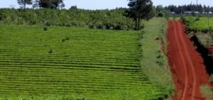 Nación giró 10 millones para saldar deudas con productores de té