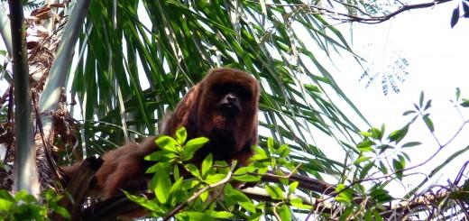 Monos caí y monos aulladores son sensibles a amenazas que afectan su persistencia a largo plazo