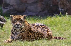 El yaguareté vuelve a Corrientes después de 60 años