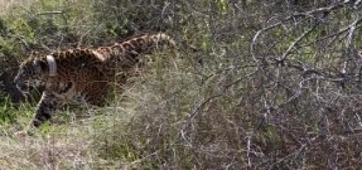 Tobuna da sus primeros paseos en semi libertad