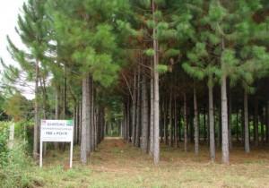 El Inta de Montecarlo desarrolló una nueva especie de pino híbrido