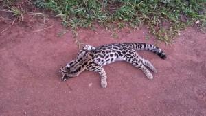 Otro felino de la selva misionera murió atropellado