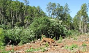 Perros detectores, en combinación con análisis genéticos, asisten en estudios de conservación en felinos