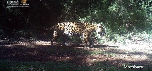 Volvieron a registrar fotos del yaguareté Mombyry y confirmaron que es un macho