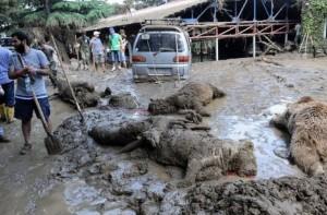 Un tigre que escapó del zoo por las inundaciones en Tiflis se comió a una persona