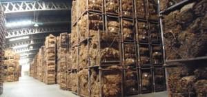 Tabaco: el acopio terminará en pocos días con una merma de 30% en relación a 2014