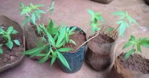 Detuvieron a un joven que cultivaba plantas de marihuana
