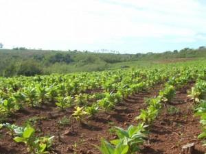 Tabaco: controlarán chacra por chacra para evitar que intermediarios cobren FET