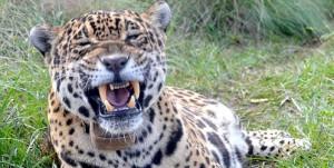 La yaguareté Tobuna comenzó a cazar en el centro de recría