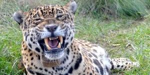 Producir naturaleza, la idea para revivir al yaguareté en Corrientes