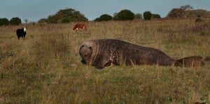 Apareció un elefante marino entre las vacas de un campo de Buenos Aires