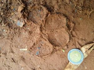 Hallaron enorme huella de un puma en una reserva misionera