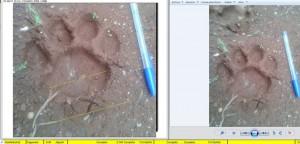 Nuevo registro de huellas de yaguareté en la reserva de la Biosfera Yabotí