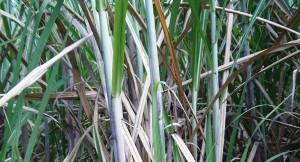 Estudian nuevas alternativas para la producción de bioetanol