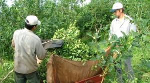 Agricultura fijó en 4,272 pesos el kilo de hoja verde de yerba mate