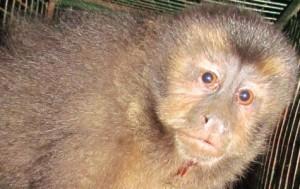 Rescataron un mono de un taxista que desapareció de Posadas