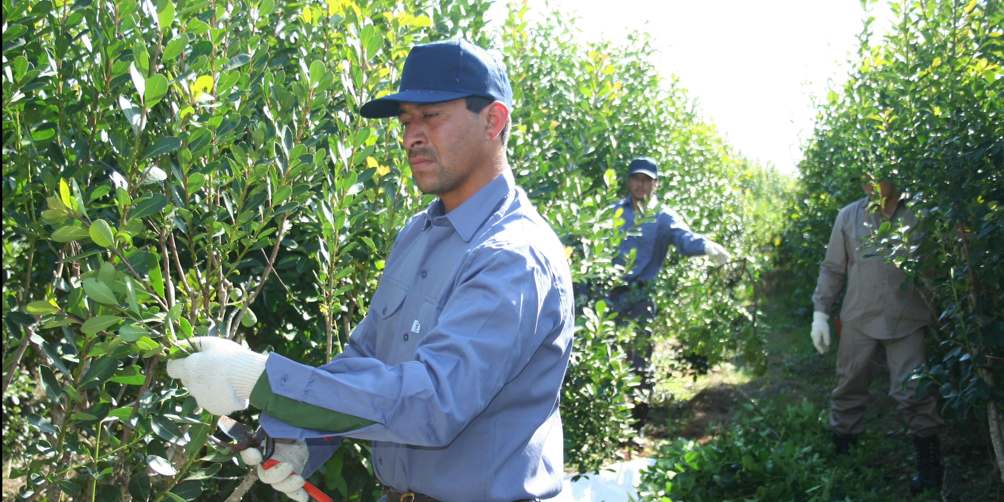 El 94% de los productores yerbateros recibirá insumos para el manejo de sus yerbales