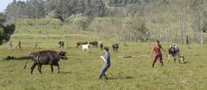 Finalizó la toma de muestras en la cuenca lechera que apunta a una excelente calidad de la leche misionera