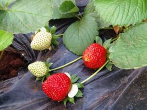 Dos productores del Mercado Concentrador prevén producir seis mil kilos de frutillas