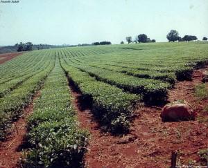 """Buscarán un precio """"cumplible"""" para el brote de té y subsidios para pequeños productores"""