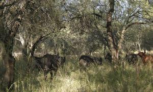 Vida Silvestre: Para avanzar en ganadería integrada al bosque hacen falta acciones en políticas de manejo sustentable