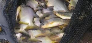 La Expo de Las Misiones exhibirá el liderazgo nacional en producción de peces de cultivo del NEA