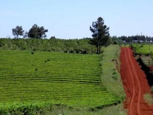 Productores piden retrasar dos meses el inicio de la zafra de té