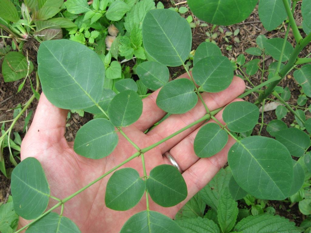 La moringa, una planta que consideran «milagrosa» se difunde cada vez más