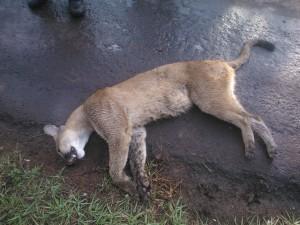 Conductor mató a un puma en el Parque Nacional Iguazú y se dio a la fuga