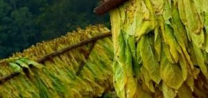 Consideran a la Ley de Agricultura Familiar un atropello para el sector tabacalero
