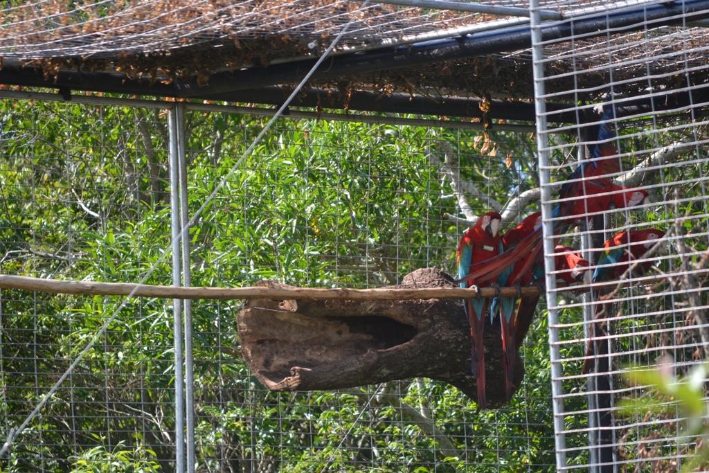 Siete guacamayos rojos volvieron a volar en libertad en Corrientes