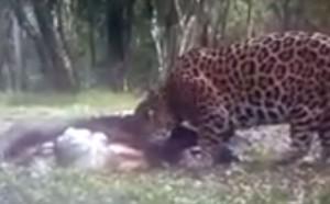 Filmaron a un yaguareté cenando un tapir