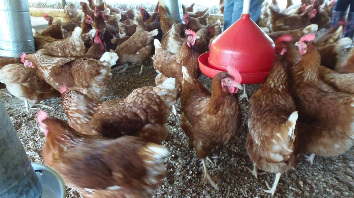Misiones tiene el potencial para producir pollos a gran escala
