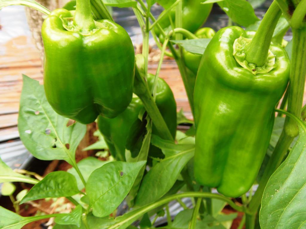 Cultivan berro y tomate en sistema hidropónico y semihidropónico en Garupá