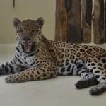 Se aprobó el Plan Estratégico para la Conservación del Yaguareté en las Yungas Argentinas